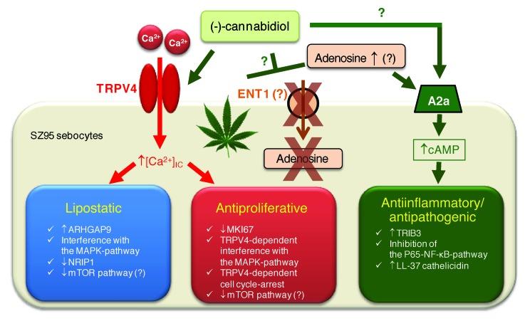 cbd action on acne vulgaris
